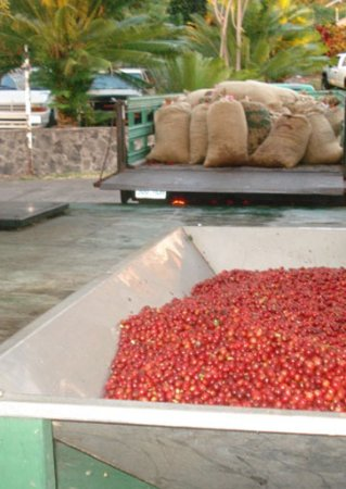 Honaunau, HI: Incoming Coffee Cherry for Wet Milling