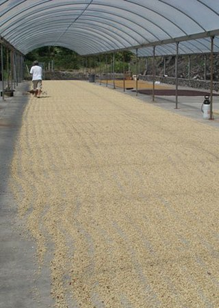 Honaunau, HI: Coffee Parchment drying on the cement deck