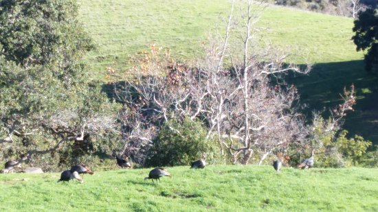 Fremont, Kalifornia: Turkeys