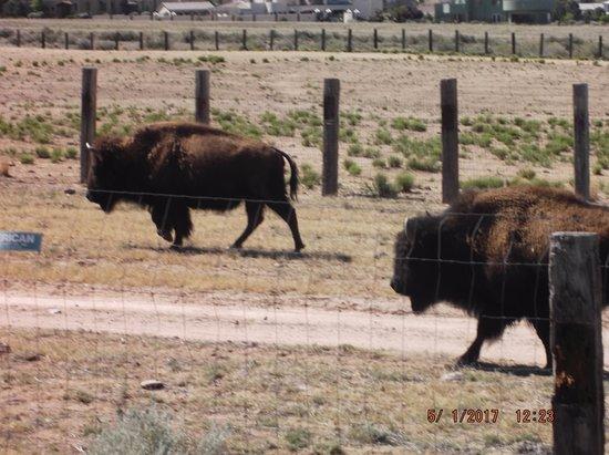 Buffalo/Bison grazing by the Sandia resort & Casino.......