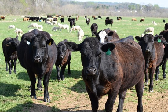 Sperryville, VA: The welcome cows