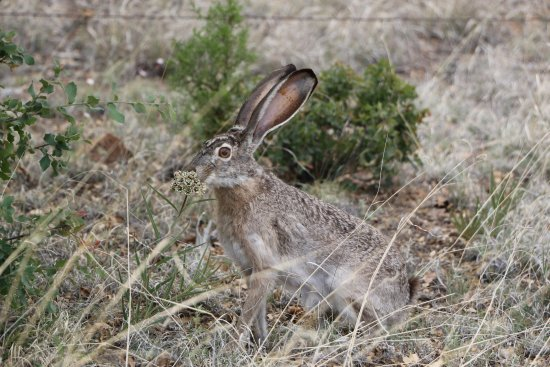 Silver City, Nuevo Mexico: Jack Rabbit on the grounds of Bear Mt Lodge