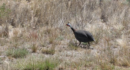 Silver City, Нью-Мексико: guinea hen along the drive to La Esperanza