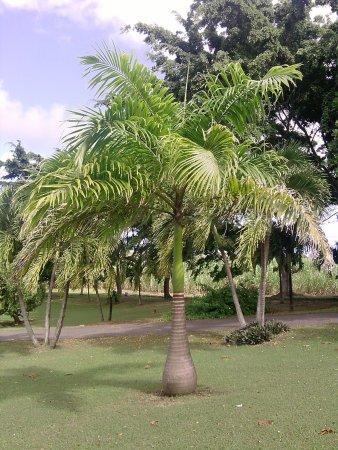 Le Moule, Guadalupe: Palmier royal parc Damoiseau