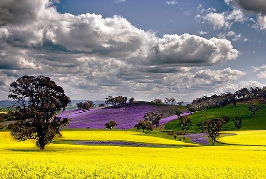 canola fields new norcia picture of iska tours perth tripadvisor