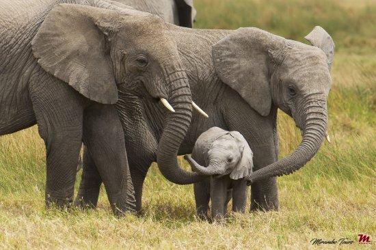 Región de Arusha, Tanzania: Elephant lovely familly at serengeti national park