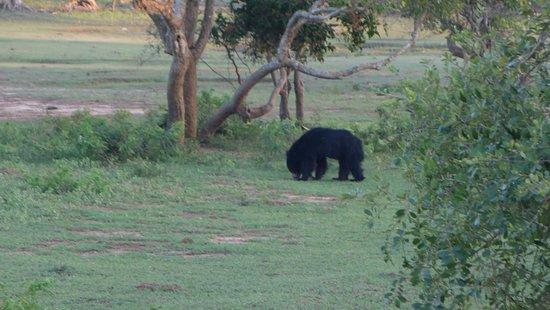 Tissamaharama, Sri Lanka: black bear