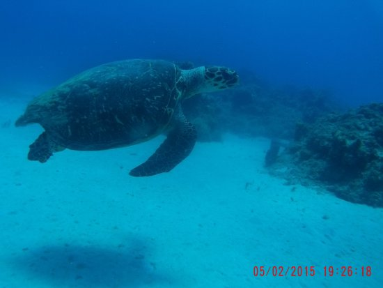 Jamaica Scuba Divers Ltd.: Sea turtle about 5 feet long!!