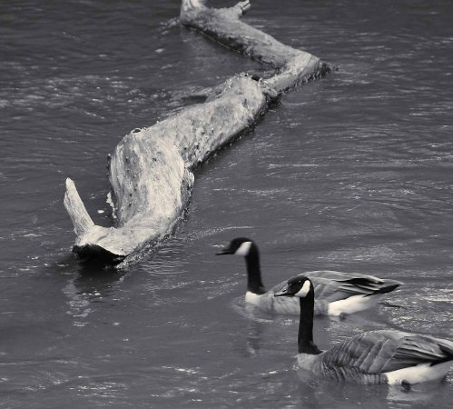 Polson Park: pair of geese swimming on the creek along trail
