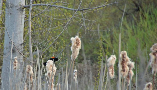 Polson Park: red winged blackbird along trail