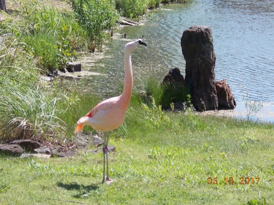 Salina, KS: Show-off flamingo across from the lunch spot