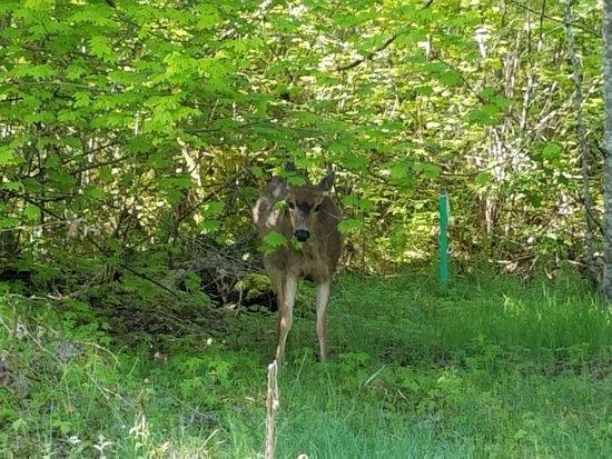 Union, واشنطن: Deer