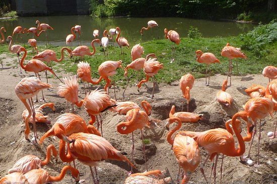 Slimbridge, UK: Caribbbean flamingos