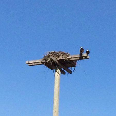 Kemptville, Canada: The osprey along River Road