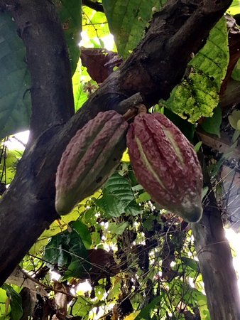Santiago de Puriscal, Costa Rica: A different variety of cocoa