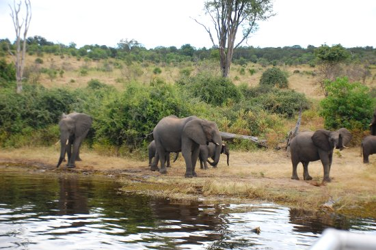 Katima Mulilo, Namibia: Elephant families on Botswana bank of Linyati River.