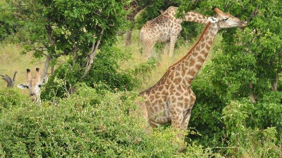 Katima Mulilo, Namibia: Giraffe family on far bank (Chobe Park, Botswana).