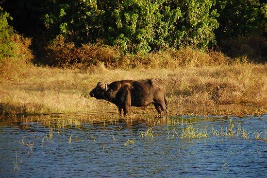 Katima Mulilo, Namibia: Buffalo on far bank (Chobe Park; from boat cruise).