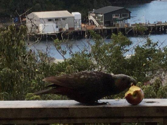Stewart Island, New Zealand: A friendly visitor.