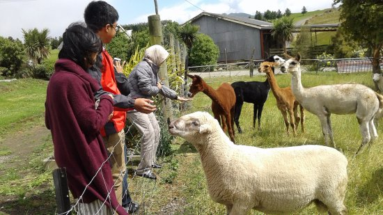Gore, Yeni Zelanda: Feeding Sheep and Alpaca