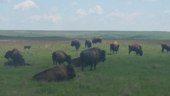 Strong City, KS: Here we are right next to the buffalo!