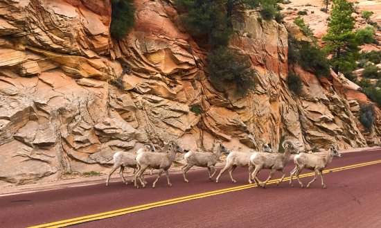 Zion Canyon Scenic Drive: Stumbled upon some Mountain Goats on the Scenic Drive