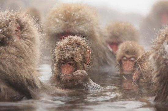 Seasonal Snow Monkey Day Trip...