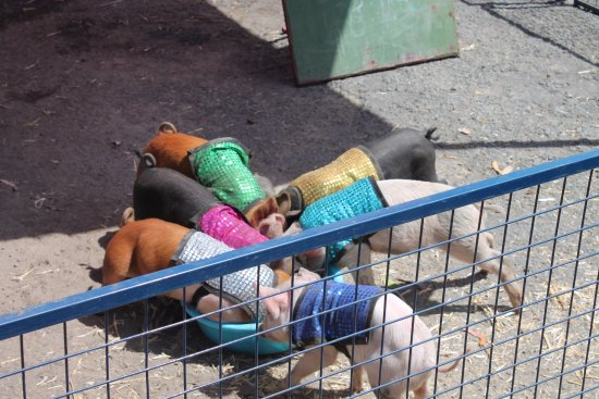Advancetown, Australia: Australia Day Pig Races