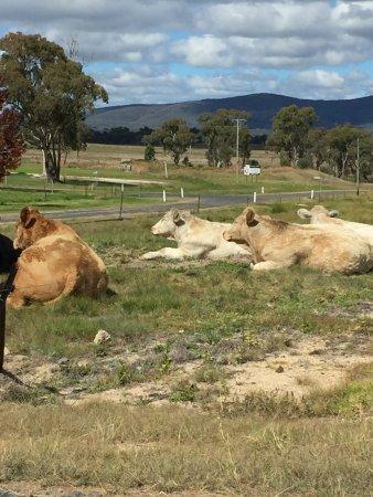 Ballandean, Australia: Locals :)
