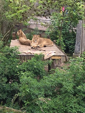 Lion Exhibit at the London Zoo