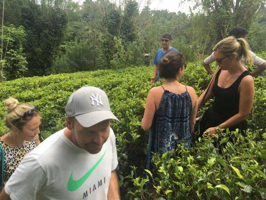 Mawanella, Sri Lanka: tea plantation