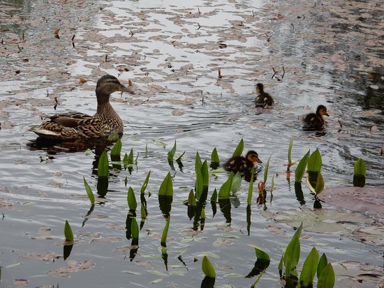 Newton Stewart, UK: duck and ducklings on pond