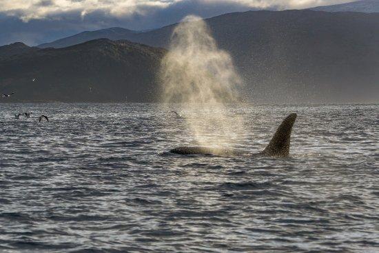 Sommaroy, Norwegia: Killer whales in November.