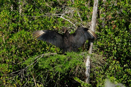 Tour the Glades : sunbathing vulture