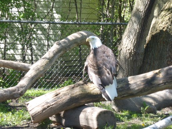 Royal Oak, MI: Eagle with damaged wing. The zoo had several animals that were once pets.