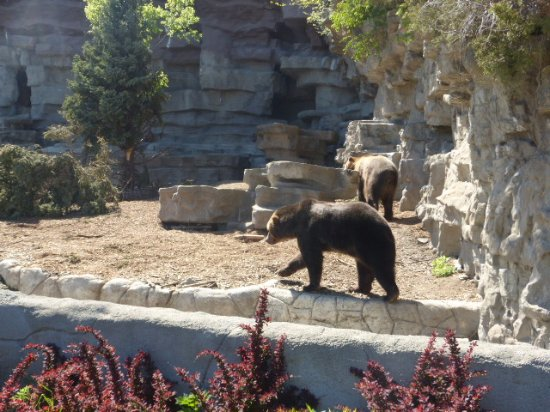 Royal Oak, MI: Bears in their compound.