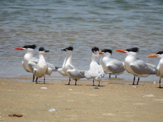 มอร์เฮดซิตี, นอร์ทแคโรไลนา: Bird dance anybody?