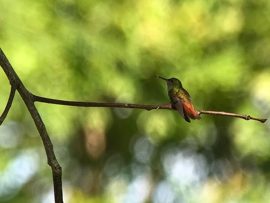 Costa Rica Jade Tours: Rufous Tailed Hummingbird
