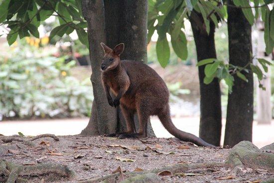 Red Kangaroo Habitat Red Kangaroo - Picture...