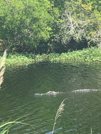 Manteo, NC: Wife and I notice this gator chilling in a pool of water on HWY 64 about 3-4 miles east of Allig