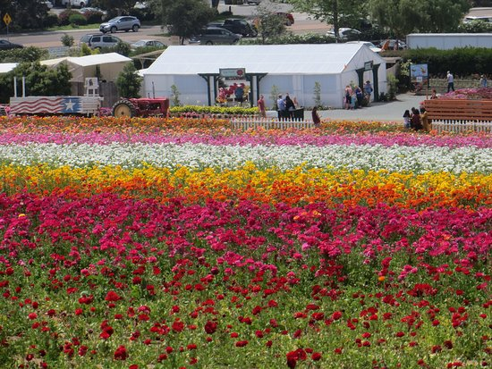 Carlsbad Flower Fields: A view of the fields from the top