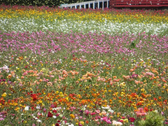 Carlsbad Flower Fields: A view of fields from the bottom