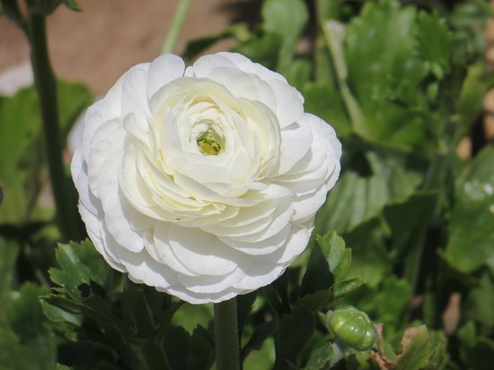 Carlsbad Flower Fields: This is an example of the type of flower that makes up the fields. (Giant Ranunculus)