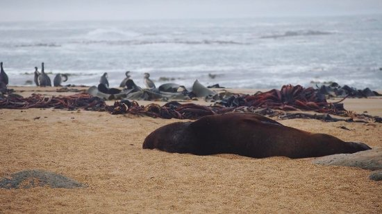 Invercargill, New Zealand: A sea lion chilling out on the beach at Waipapa Point Lighthouse, Catlins, can be found quite ea