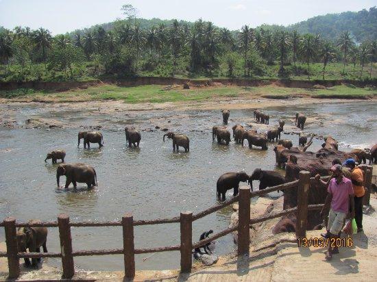 Pinnawala, Sri Lanka: Купание слоников