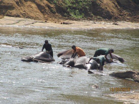 Pinnawala, Sri Lanka: Купание серых слонов !
