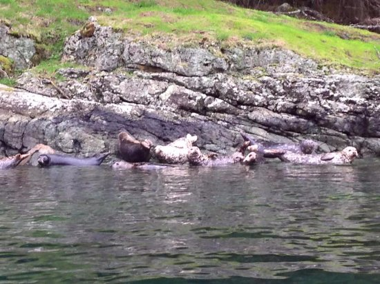 Painter's Lodge: Wildlife Tour - harbour seals