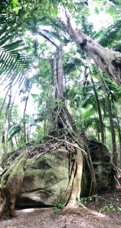 Lamington National Park, Australia: Strangler fig