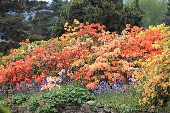 Market Drayton, UK: Rhododendron is still magnificient