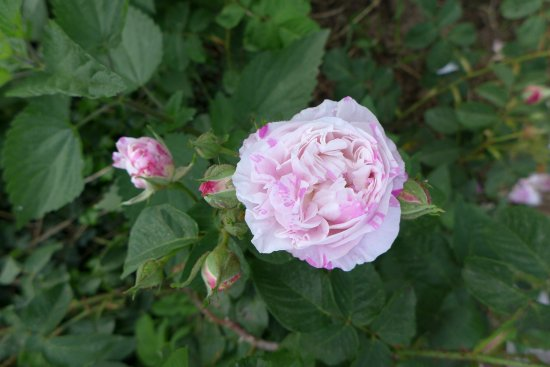 Villa Farinella: The gardens are full with roses of all kinds